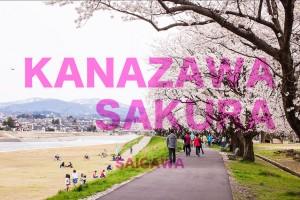 金沢犀川の桜並木