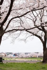 金沢犀川の桜並木と向こう岸