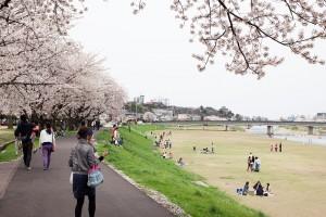 犀川と桜と嫁