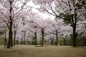 様々な種類の桜